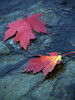 Two Maple Leaves on Wet Rock