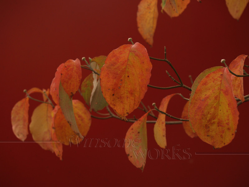 Dogwood Leaves against red