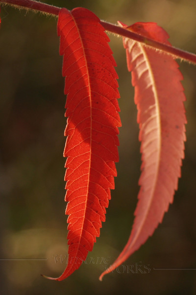 Staghorn Sumac Closeup