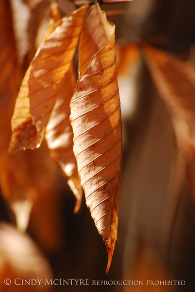 Beech Leaves winter, Chattahoochee (2)