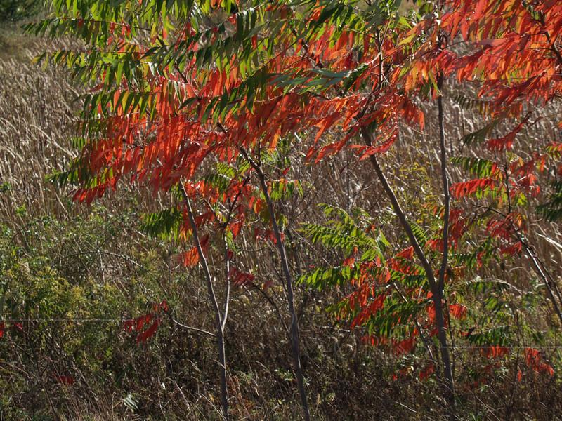 Staghorn Sumac, October (Rhus typhina)