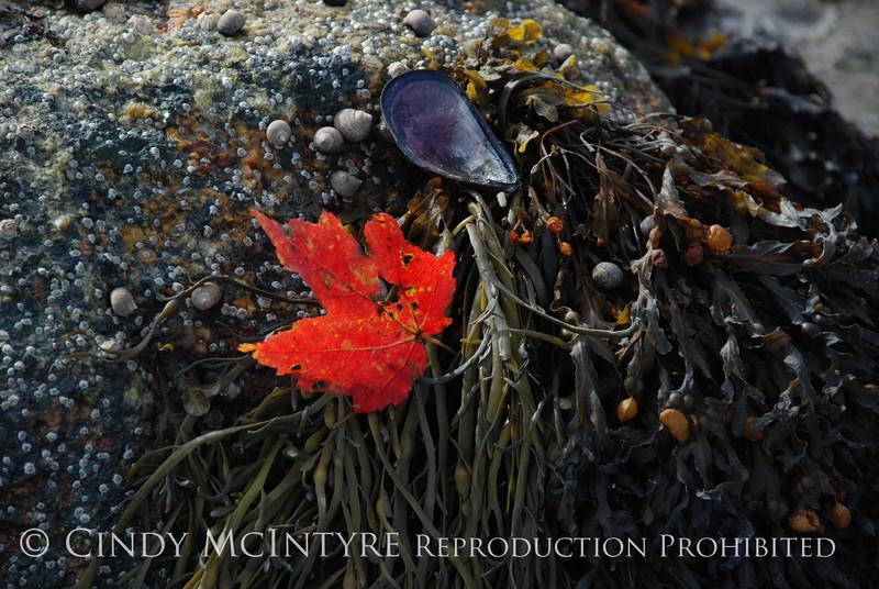 Maple Leaf on seaweed, Maine (3)