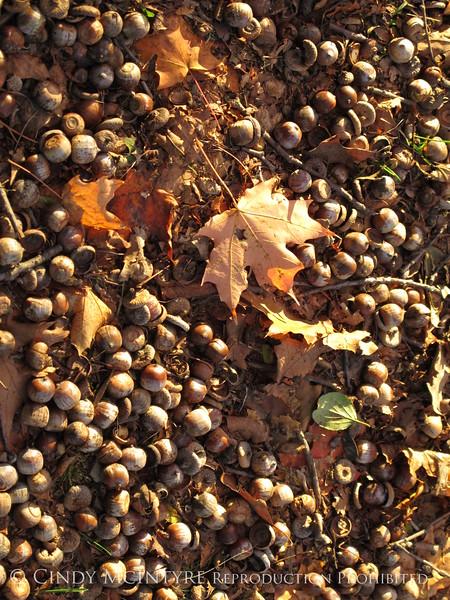 Acorns and maple leaf (1)