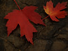 Maple Leaves on Wet Rock