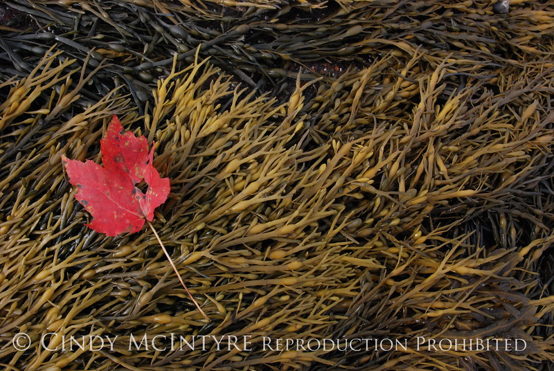 Maple Leaf on seaweed, Maine (2)