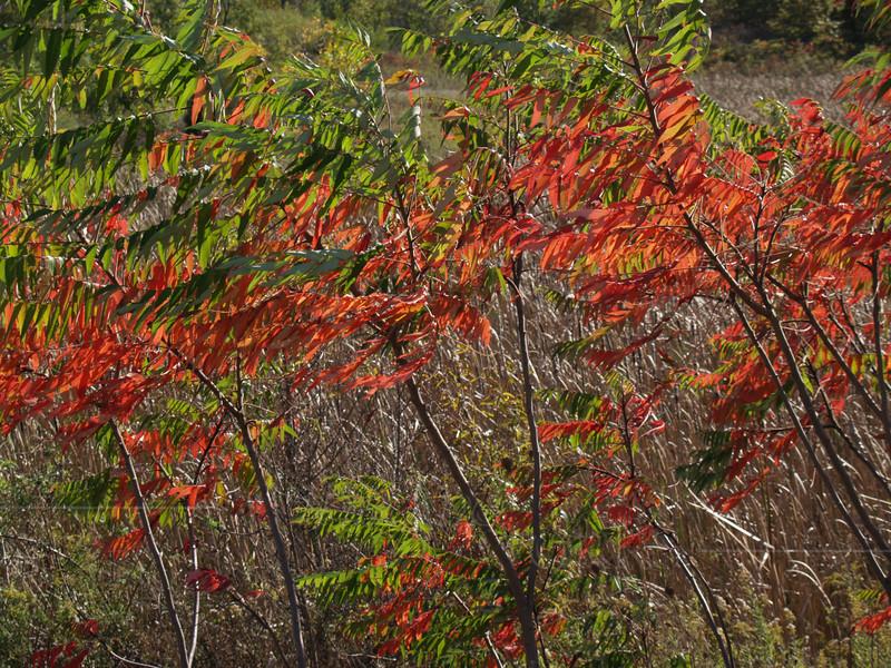 Sumac in October