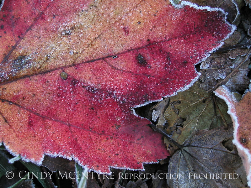 Frosty leaves, Waldoboro ME (12)