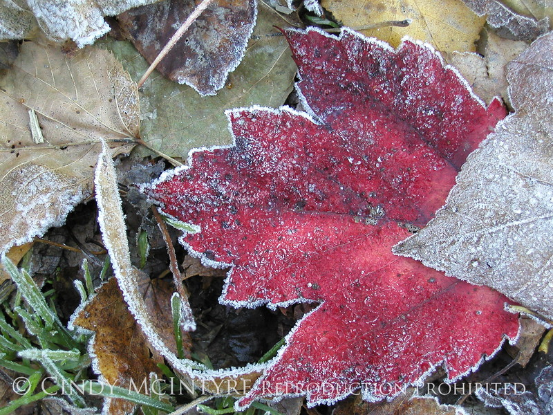 Frosty leaves, Waldoboro ME (9)