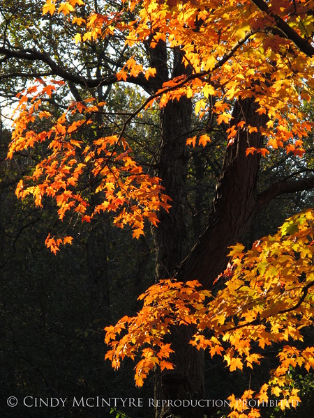 Maple Tree Connecticut (3)
