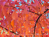 Autumn Leaves Red 1 13x19 copy