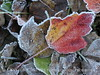 Frosty leaves, Waldoboro ME (6)