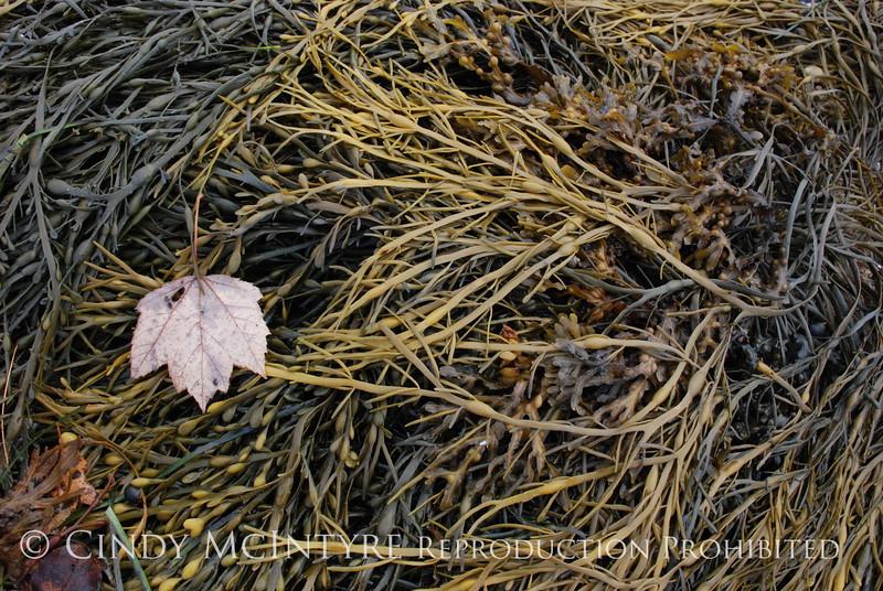 Maple Leaf on seaweed, Maine (1)