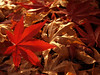 Back-lit Japanese Maple Leaf on Dead Leaves