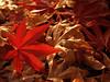 Back-lit Japanese Maple Leaf on Dead Leaves