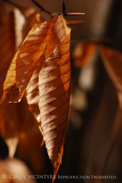 Beech Leaves winter, Chattahoochee (3)