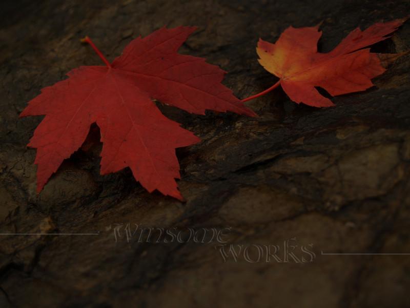 Pair of Maple Leaves on Wet Rock