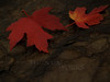 Pair of Maple Leaves on Wet Rock
