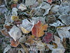Frosty leaves, Waldoboro ME (3)