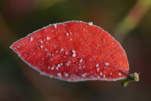 A morning with a pretty picture of a blueberry leaf in autumn colors and with a little bit of frost