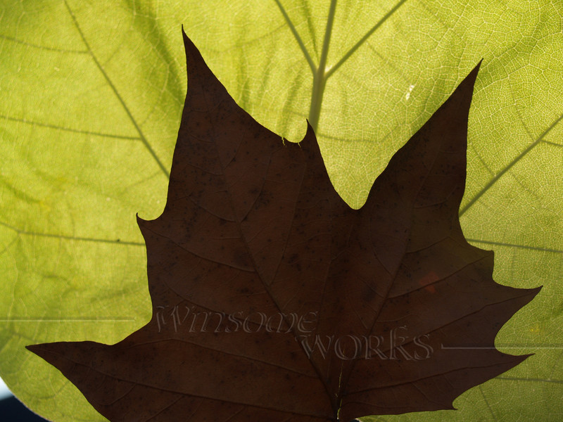 Back-lit Leaves-- Sycamore & Catalpa
