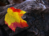 Autumn red maple leaf on Log