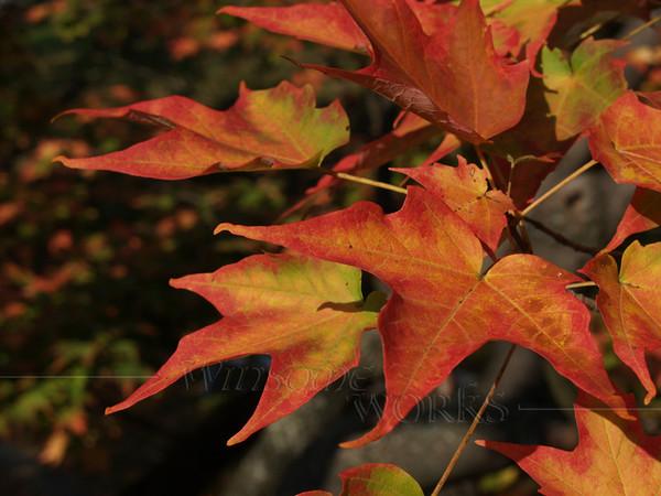 Sugar Maple in Autumn