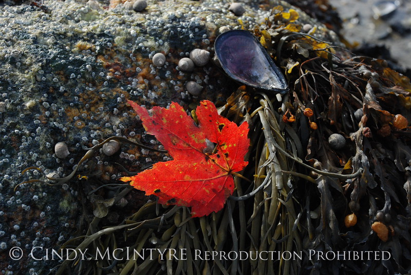 Maple Leaf on seaweed, Maine (4)