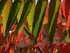 Red & Green Sumac Leaves, October (Rhus typhina)