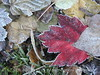 Frosty leaves, Waldoboro ME (8)