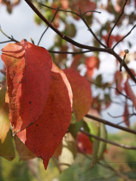 Dogwood Leaves, Autumn, Bucks County