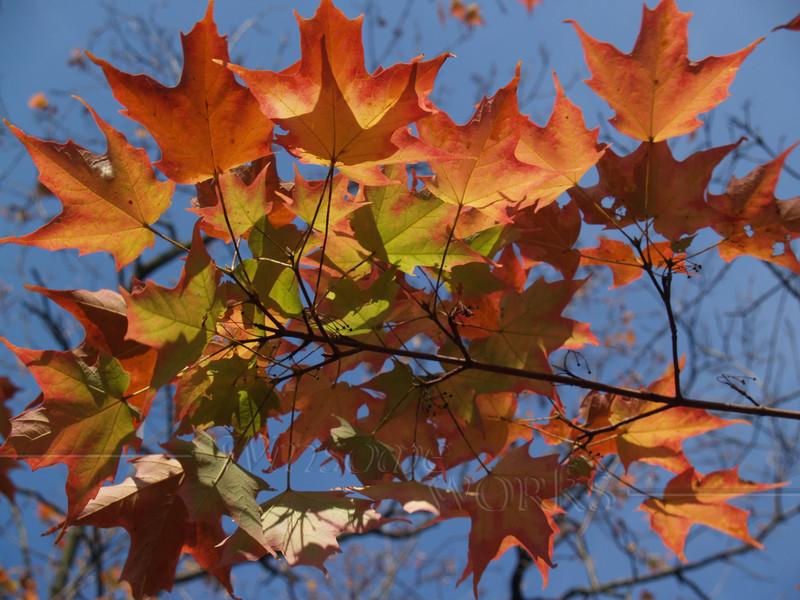 Glorious Sugar Maple leaves