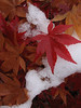 Wet Japanese Maple Leaves in Snow