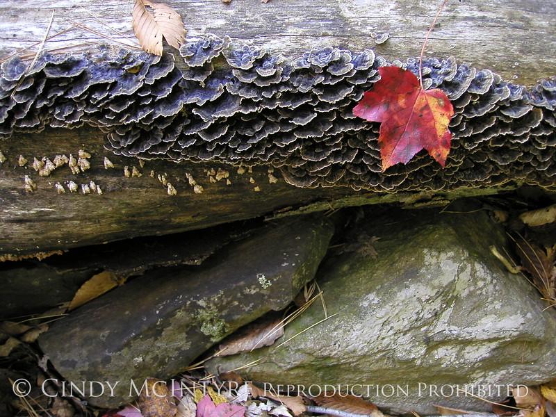 Maple leaf and fungi, Maine (2)