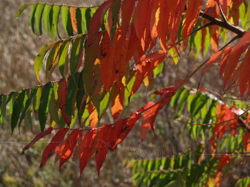 Staghorn Sumac in Autumn  (Rhus typhina)