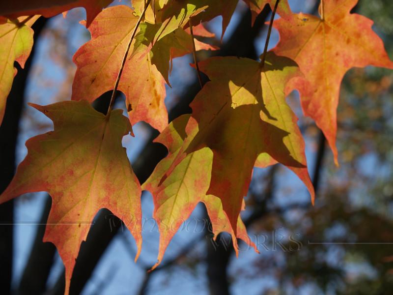 Sugar Maple Leaves, Afternoon
