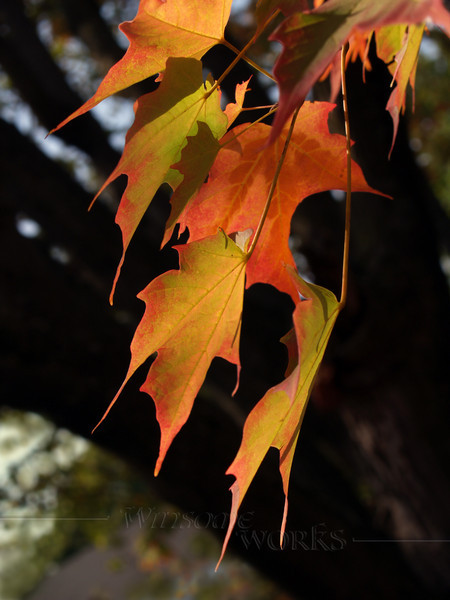 Sugar Maple (acer saccharum) leaves, turning colors in October, Eastern Pennsylvania... trunk in background.  Shallow DOF.