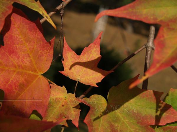 Tiny Sugar Maple Leaf in shadow