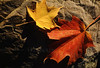 Pair of Maple Leaves Resting on Shadowy Rock