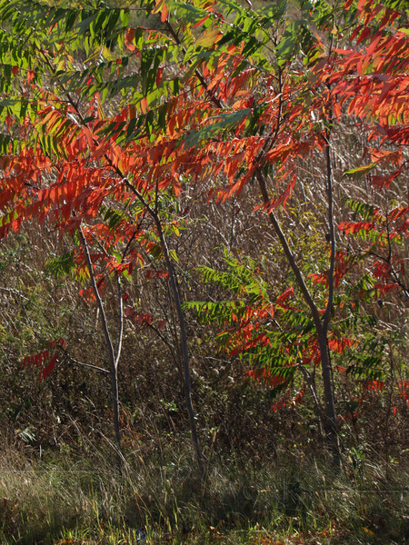 Staghorn Sumac in October (Rhus typhina)