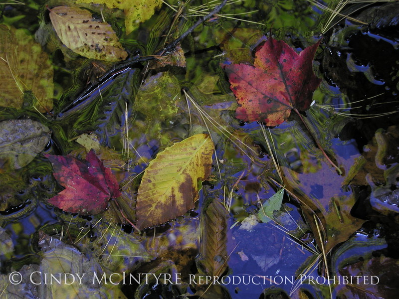Fall leaves in water, Maine (3)