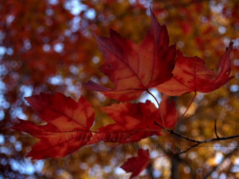 Maple Leaves in Woods