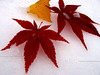 Japanese Maple & Birch Leaves in Early Snow