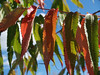 Staghorn Sumac in Autumn (Rhus typhina)