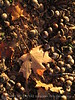 Acorns and maple leaf (2)