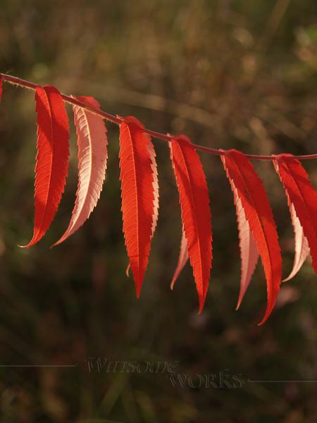 Staghorn Sumac leaves, back-lit