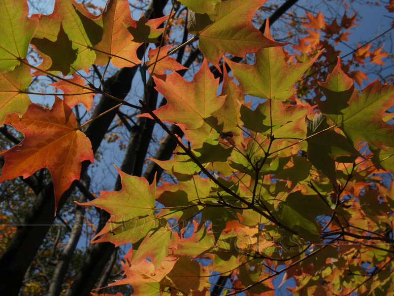 Sugar Maple Leaves