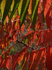 Staghorn Sumac Leaves, detail  (Rhus typhina)