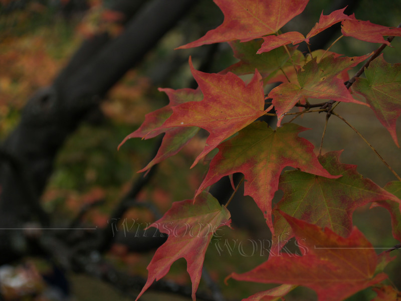 Sugar Maple Leaves on Overcast Day