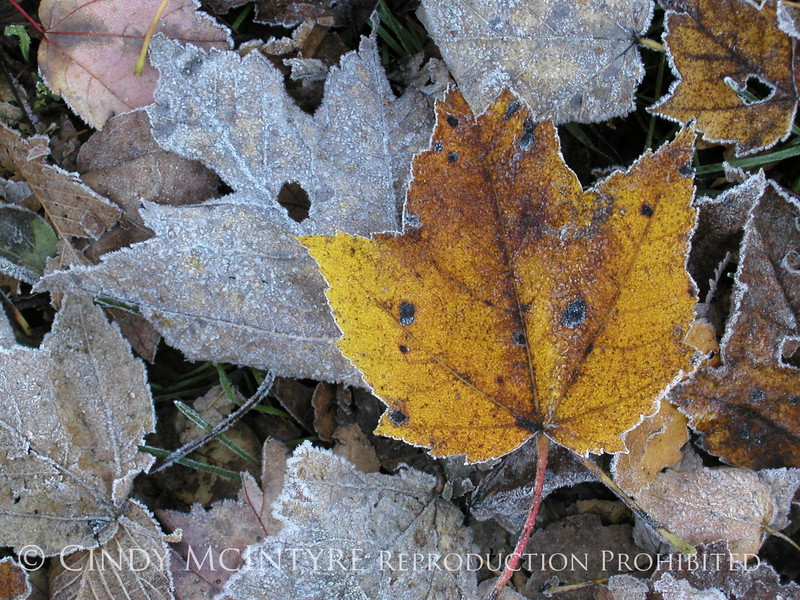 Frosty leaves, Waldoboro ME (1)