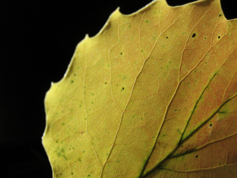 Bigtooth aspen leaf from hike at Hickory Run S.P.
